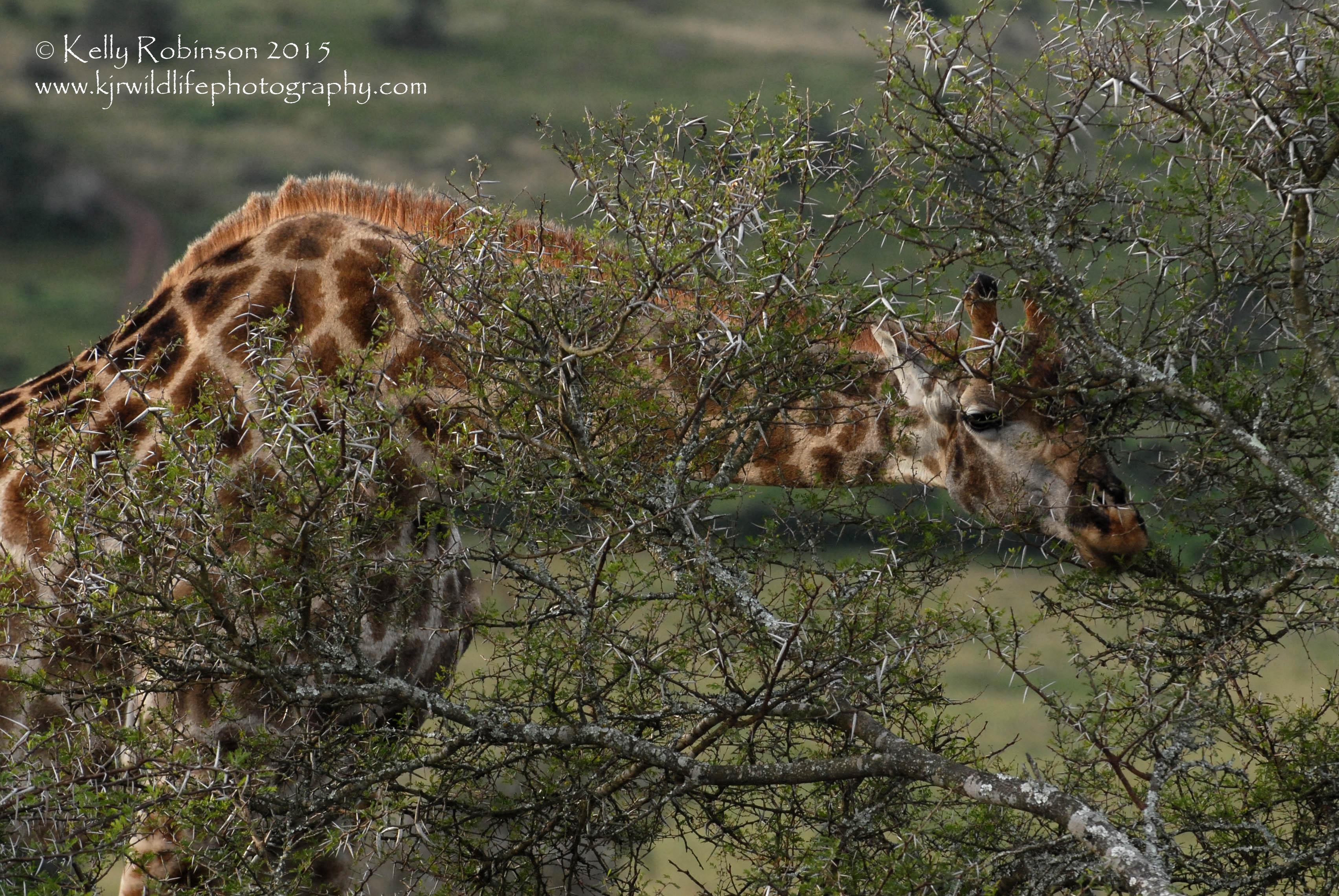 Southern Giraffe eating acacia