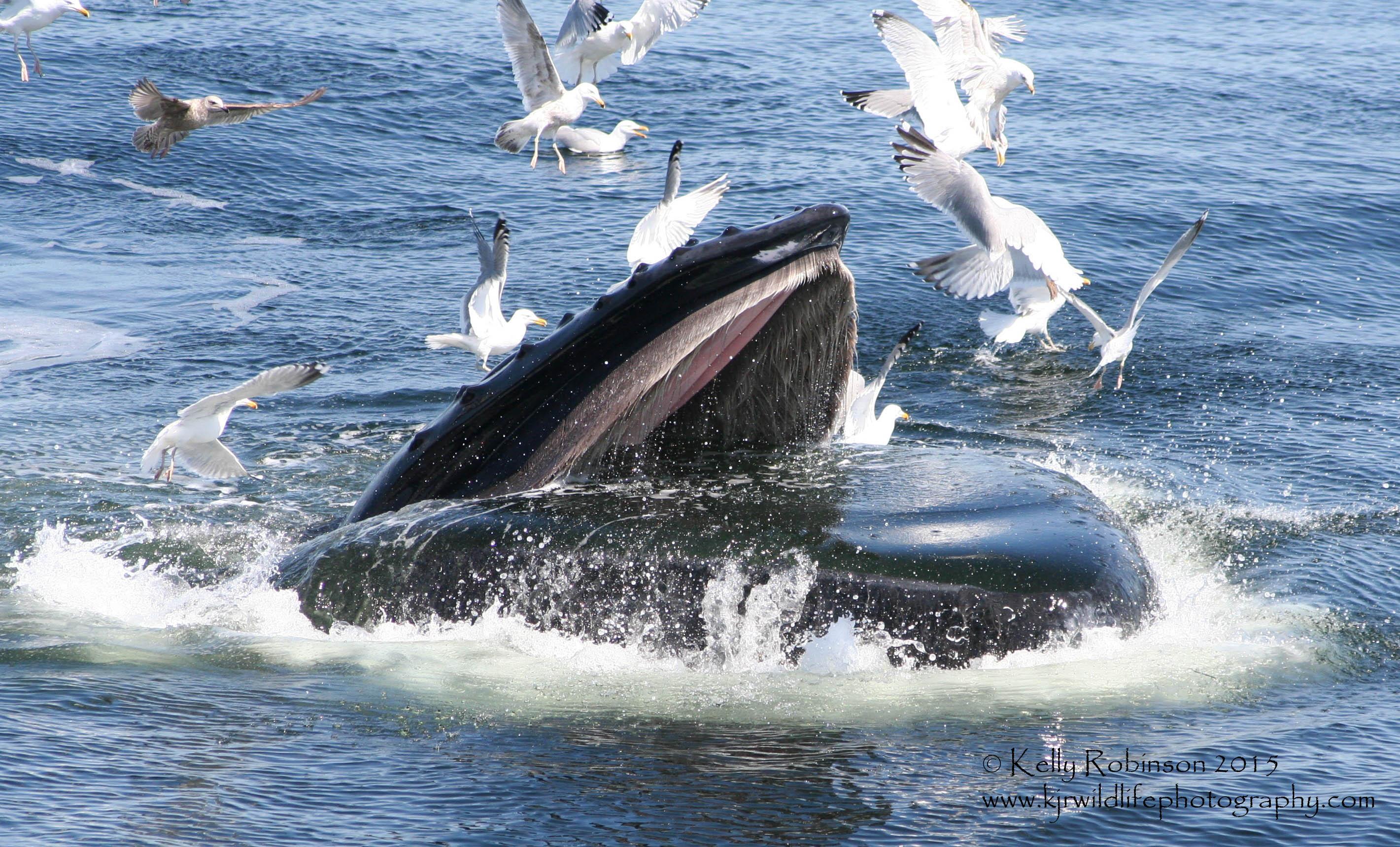 Humpback Whale (Etch-a-sktech) Feeding